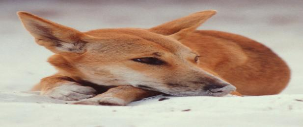 Fraser Island Dingo, one of the many Fraser Island inhabitants