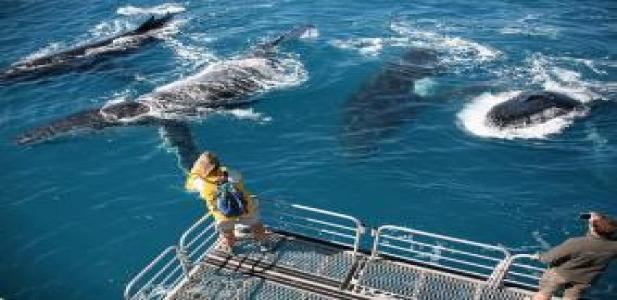 Humpback Whales at the back of the Tasman Venture Boats lowering deck